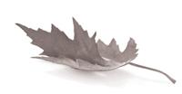 curled maple leaf