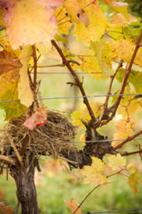 In the vineyard (photo credit: Summerhill Pyramid Winery)